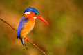 Malachite Kingfisher, Alcedo cristata, detail of exotic African bird sitting on the branch in green nature habitat, Botswana Royalty Free Stock Photo