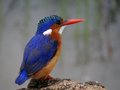 Malachite kingfisher alcedo cristata in kruger national park south africa Stock Photography