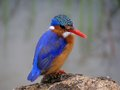 Malachite kingfisher alcedo cristata in kruger national park south africa Stock Photo