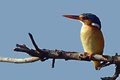 Malachite kingfisher alcedo cristata in kruger national park south africa Royalty Free Stock Image