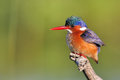 Malachite Kingfisher sitting on a perch Stock Image