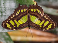 The malachite wingspan view of butterfly Royalty Free Stock Photography