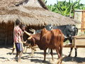 Malagasy Zebu Royalty Free Stock Photography