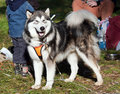 Malamute d'Alaska Photos stock