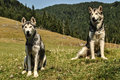 Malamute and husky in beautiful mountain landscape Stock Photos