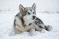 Malamute puppy in the snow covered winter day Stock Photos