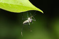 Malaria mosquito Royalty Free Stock Photo