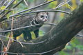 Malay civet the on the tree Stock Photography
