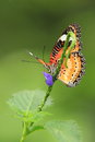 Malay lacewing Royalty Free Stock Photo