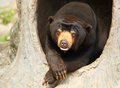 Malayan bear with a funny post in a tree hole Stock Images