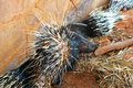 Malayan porcupine in the zoo Stock Images
