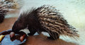 Malayan porcupine in the zoo Royalty Free Stock Photos