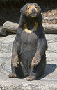Malayan sun bear 2 Royalty Free Stock Images