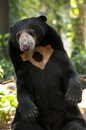 Malayan sun bear the is also known as the honey Royalty Free Stock Photography