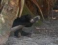 Malayan Sun Bear draped on a log sleeping Royalty Free Stock Photo