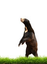 Malayan sun bear with green grass isolated on white background Stock Photos