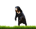 Malayan sun bear with green grass isolated on white background Royalty Free Stock Images
