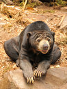 Malayan Sun Bear (Helarctos malayanus) Stock Photos