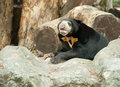Malayan sun bear honey bear Stock Images