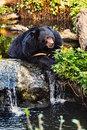 Malayan Sun Bear Portrait Stock Photos