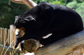 Malayan sun bear rest on a tree Stock Photos