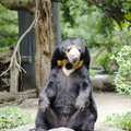 Malayan sun bear in thailand zoo bangkok Royalty Free Stock Images