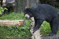 Malayan sun bear in zoo sunbear standing on log oregon Stock Photos