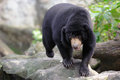 Malayan sun bears closeup walking Royalty Free Stock Photo