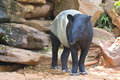 Malayan tapir animal Royalty Free Stock Photos