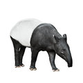 Malayan tapir isolated on white background one Royalty Free Stock Photo