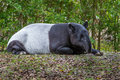Malayan Tapir sleeping Stock Photo