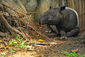 Malayan tapir tapirus indicus in dusit zoo thailand Royalty Free Stock Photography