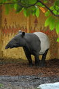 Malayan tapir tapirus indicus staying near wall Stock Photos