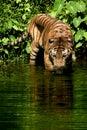 Malayan Tiger Royalty Free Stock Photo