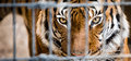 Malayan Tiger in Cage Royalty Free Stock Photo