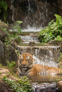 The malayan tiger panthera tigris within a man made tropical lake and waterfalls Stock Images