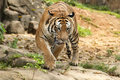 Malayan tiger prowling in the jungle Stock Images