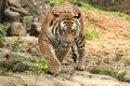 Malayan Tiger prowling Royalty Free Stock Photo
