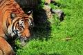 Malayan tiger walking Stock Image