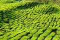 Malaysia, Cameron Highlands, Tea plantation Stock Photo