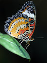 Malaysian Lacewing Butterfly Royalty Free Stock Photo