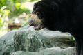 Malayun sun bear Royalty Free Stock Photo