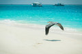 Maldivian heron flying low over the beach Royalty Free Stock Photos