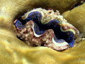 Maldivian Tridacna Royalty Free Stock Photography