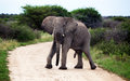 Male african elephant erection in south africa walking on the road in namibia park Stock Photos