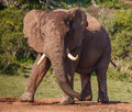 Male african elephant with large tusks in an aggressive stance Royalty Free Stock Image