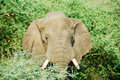 Male African elephant, Murchison Falls N.P. Royalty Free Stock Photos
