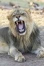 Male African Lion (Panthera leo) yawning, Botswana Royalty Free Stock Photo