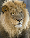 Male african lion portrait closeup of a Royalty Free Stock Photography