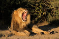 Male African lion yawning Royalty Free Stock Photo